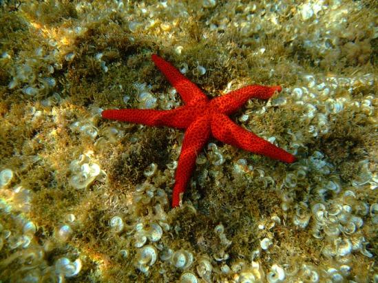 Estrella de mar espinosa roja. Echinaster sepositus